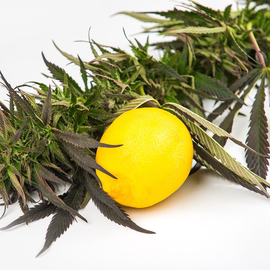 terpenes cannabis wellness
